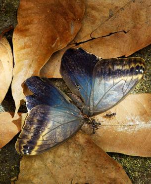 HELENE SCHMITZ Papillon et fourmille - Butterfly and ant Photo du livre Regnskogens Skugga  (Dans l'ombre de la forêt tropicale) édité par Forlaget Max Ström, 2011