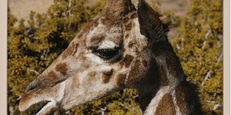 Elad Lassry Giraffe, 2011 Courtesy the artist