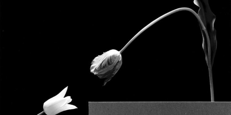 Robert Mapplethorpe Két tulipán / Two tulips, 1984 © Robert Mapplethorpe Foundation. Used by permission.