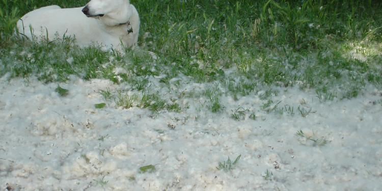 Drusilla fra la neve dei fiori di pioppo al Sepolcro di Annia Regilla e Casale dell'Ex Mulino - May 9, 2013